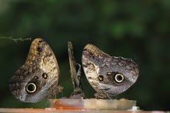 Owl butterflies Royalty Free Stock Photos
