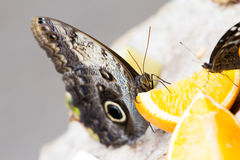 Owl butterflies Royalty Free Stock Images