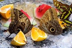 Owl butterflies eating fruit