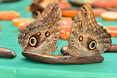 Owl butterflies feasting at the butterfly buffet. Stock Photography