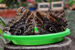 Owl butterflies. Feeding in from green plate Royalty Free Stock Photo
