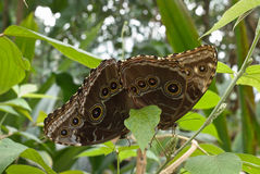 Free Owl Butterflies Mating Stock Photography - 19552892