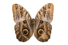 Free Owl Butterfly Royalty Free Stock Image - 10073016