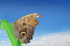 Owl butterfly Royalty Free Stock Photography