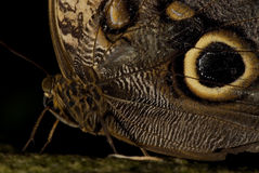 Owl Butterfly. Photo of an Owl Butterfly (Caligo spp.) of the Nymphalidae family. Common to Mexico to South America stock photography