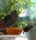 Owl Butterfly. Big butterly with eye on its wing Royalty Free Stock Photo
