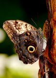 Owl Butterfly. Images shows an owl butterfly in the middle on a bamboo on the right. Background is green Stock Photos