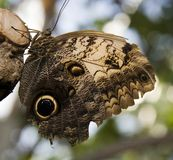 Owl butterfly. Photo of an owl butterfly Stock Image