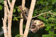 Owl Butterfly. (Caligo Memnon) closeup on a tree Stock Images