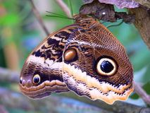 Owl butterfly. Image of owl butterfly (Caligo Atreus) and how it looks like a camouflage Royalty Free Stock Photography