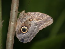 Owl Butterfly. (caligo eurilochus sulanus) from costa rica Stock Photography