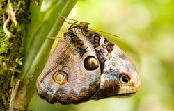 Free Owl Butterfly Stock Photos - 17962503