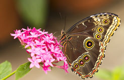 Free Owl Butterfly Stock Image - 18940641