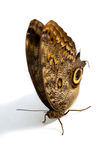 Owl Butterfly Stock Image
