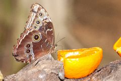 Owl butterfly Royalty Free Stock Photos