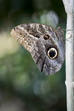Owl Butterfly Royalty Free Stock Images