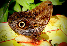 Free Owl Butterfly Royalty Free Stock Photography - 22962197