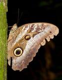 Owl butterfly Stock Photos