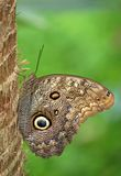 Owl Butterfly. Standing on the tree royalty free stock images