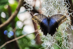 Free Owl Butterfly Royalty Free Stock Photo - 30367205