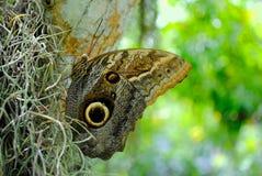 Owl butterfly. Latin name Calligo illlioneus Stock Images