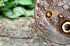 Free Owl Butterfly Stock Photos - 38693283