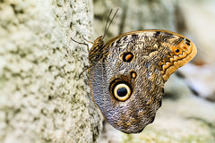 Free Owl Butterfly Royalty Free Stock Images - 46726339