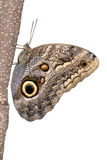Owl Butterfly. Large Owl Butterfly sitting on tree Royalty Free Stock Image