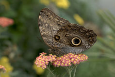 The Owl Butterfly. Beautiful Owl Butterfly stock photos