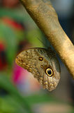 Owl Butterfly. Hanging on to branch royalty free stock photos