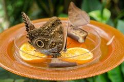 Owl Butterfly alla casa della farfalla Isola di Mainau fotografie stock libere da diritti