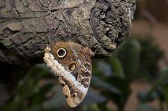 Owl Butterfly auf einem Stamm Stockbild
