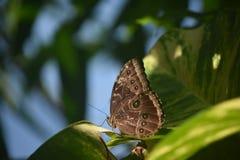 Owl Butterfly bonito con Eyespots en sus alas Foto de archivo