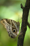 Owl Butterfly on a branch Stock Photo