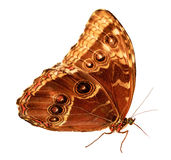Owl Butterfly Caligo Image stock