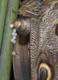 Owl butterfly caligo beltrao. Laying eggs Stock Photos