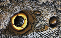 Owl butterfly caligo beltrao. Wing detail no 2 Stock Photography