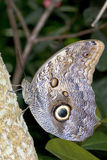 The Owl Butterfly (Caligo eurilochus). Royalty Free Stock Images