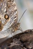 Owl butterfly Caligo Eurilochus Stock Photo