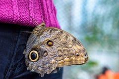Owl Butterfly (Caligo eurilochus, Bananenfalter) sitting on the purple sweater of a woman Stock Photo