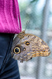 Owl Butterfly (Caligo eurilochus, Bananenfalter) sitting on the purple sweater of a woman Royalty Free Stock Photography