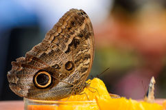 Owl Butterfly (Caligo eurilochus, Bananenfalter) sitting on slices of a orange Stock Images
