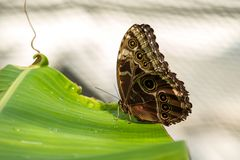 Owl butterfly ,caligo eurilochus. beautiful brown butterfly royalty free stock photography