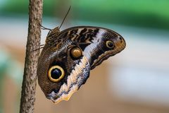 Owl butterfly ,caligo eurilochus. beautiful brown butterfly stock images