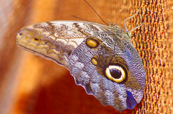 Owl butterfly or Caligo Eurilochus. Donetsk butterfly zoo. Royalty Free Stock Photos