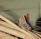 Owl butterfly (caligo eurolochus) Stock Image