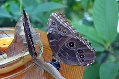 An owl butterfly - Caligo feeding fruits from the plate Royalty Free Stock Image