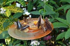 An owl butterfly - Caligo feeding fruits from the plate Stock Photos