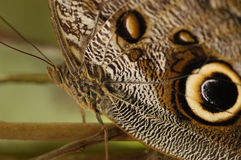 Owl butterfly caligo idomeneus. This species is common in the rainforests of South-America. The eyes on its wings are an excellent strategy to avoid getting stock photo