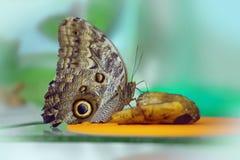 Owl Butterfly Caligo Memnon Fotografie Stock Libere da Diritti